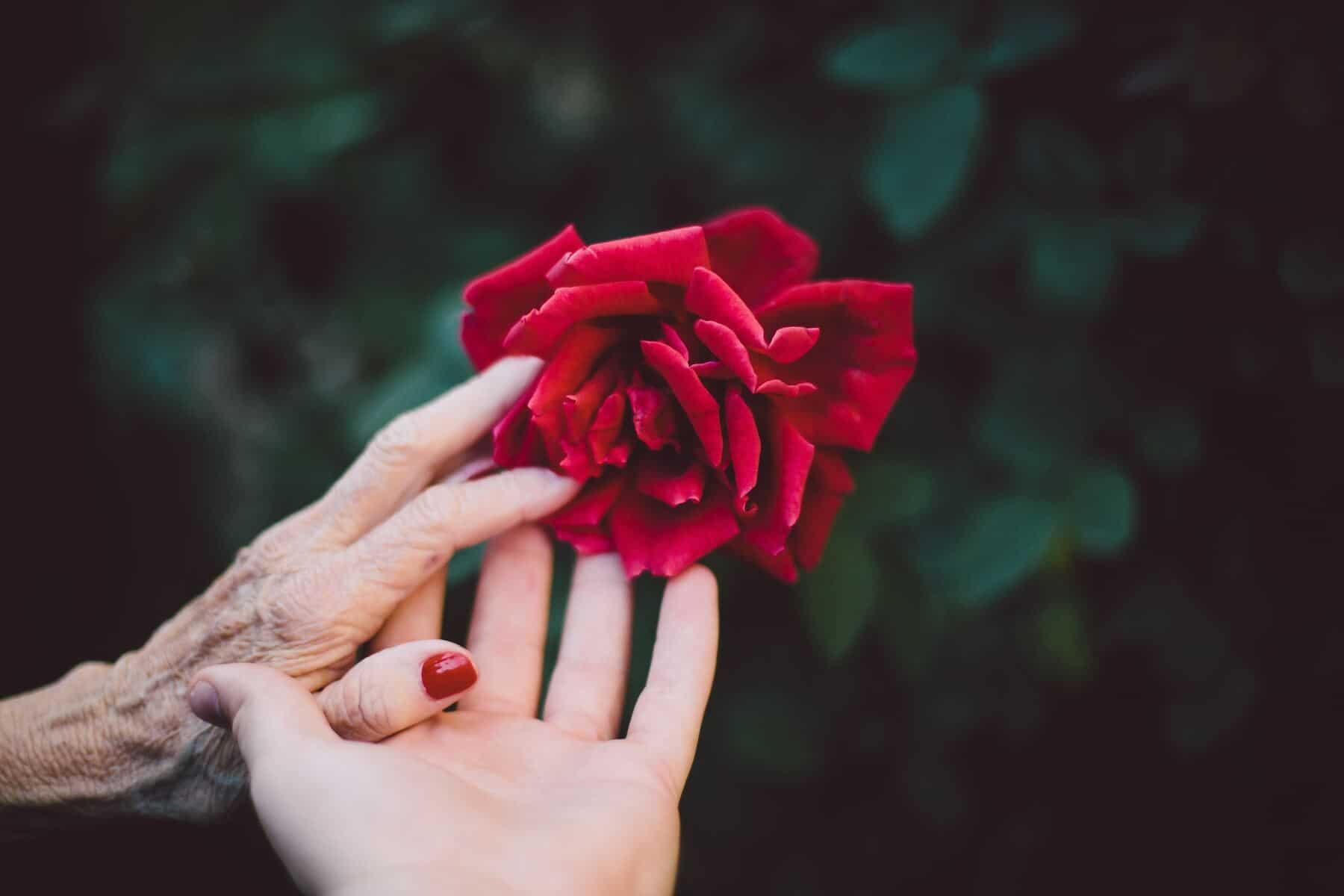 deux mains vieille et jeune rose