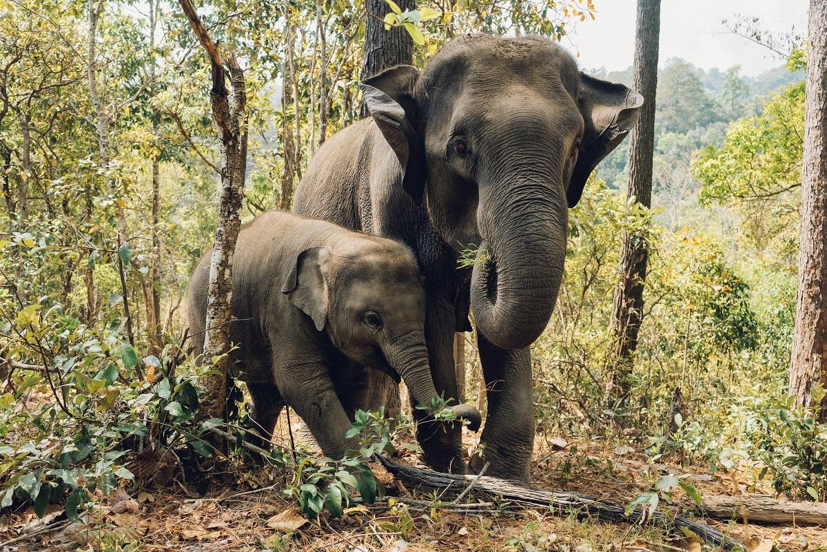 éléphants cortège funéraire